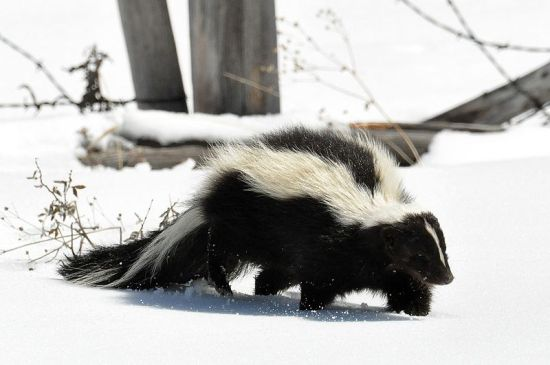 Striped Skunk (Mephitis mephitis, photo courtesy Dan and Lin Dzurisin, Wiki Commons)