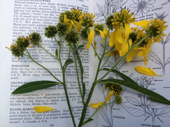 Wingstem flowers and immature fruits displayed against page from Peterson and McKenny's North American Wildflowers.