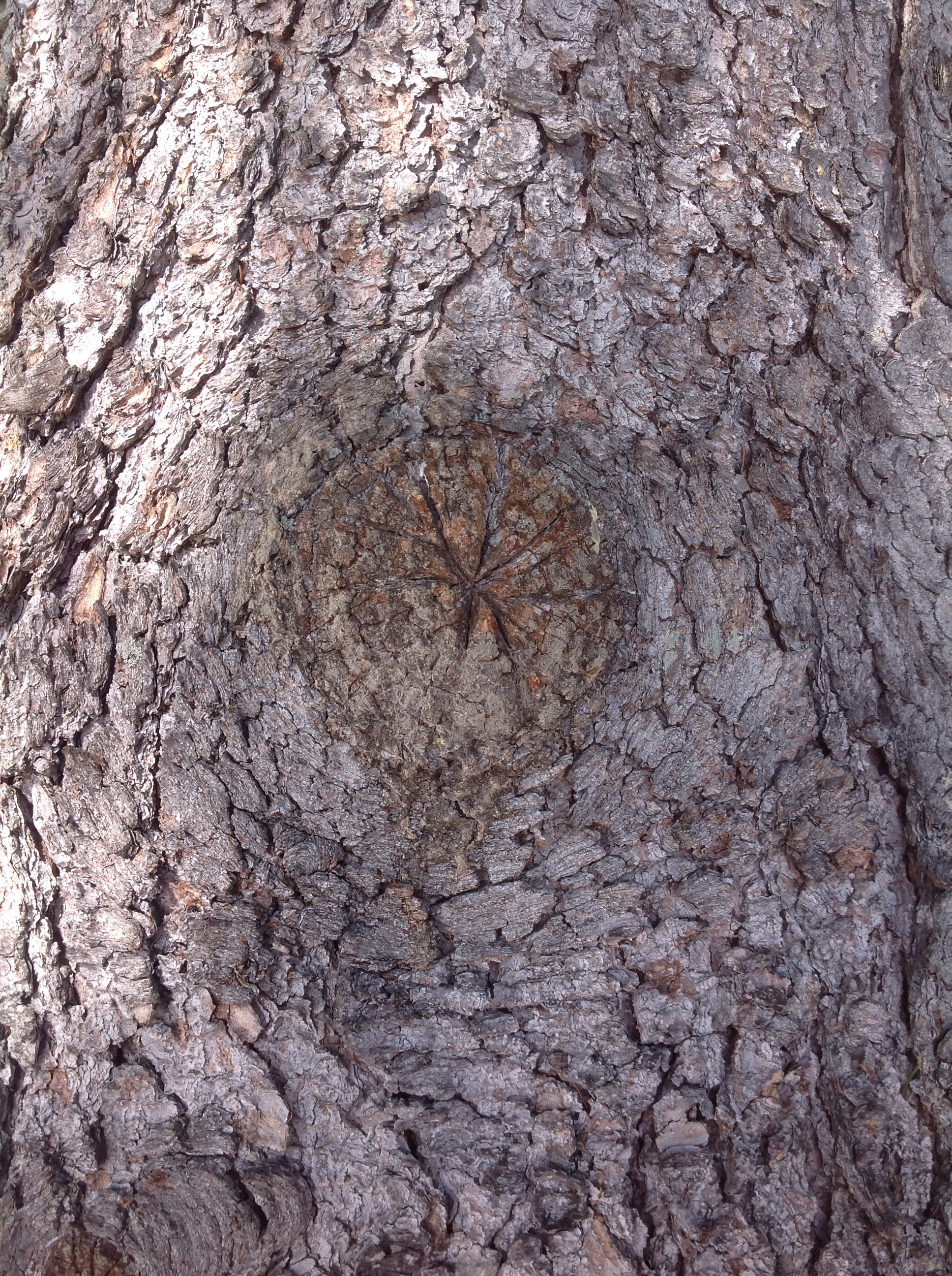 """Owl eye"" of the red spruce."