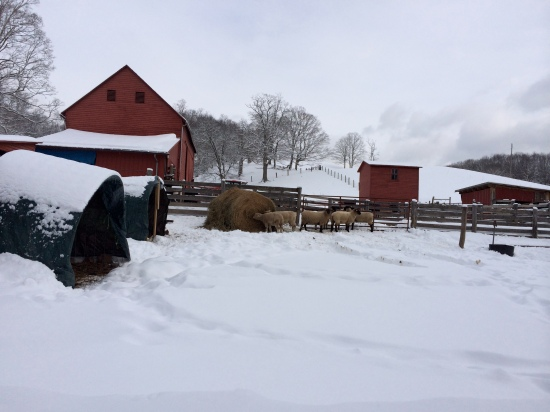Cow-and-calf shelters to the left, yearling sheep near center