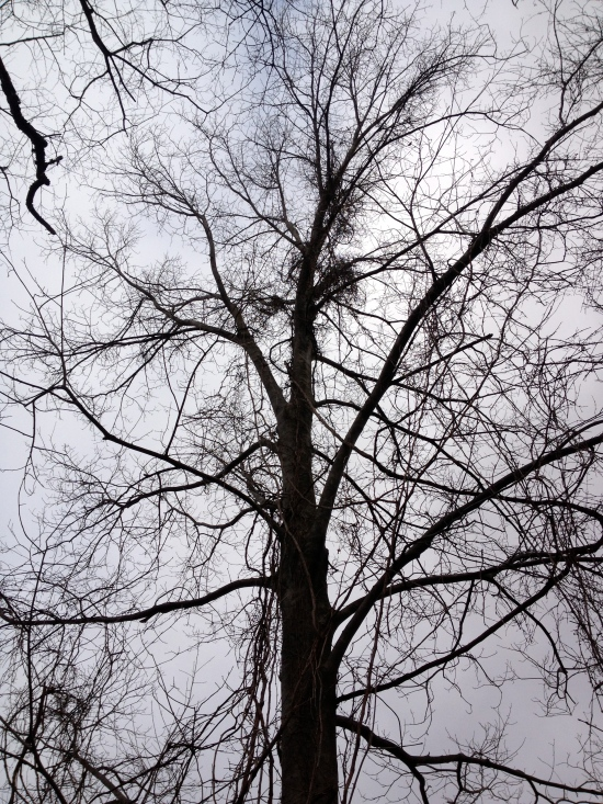 Winter silhouette of a tree with vines nearing the top.