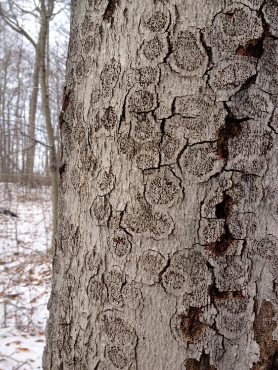 Rosette pattern of beech bark blight (fungal disease).