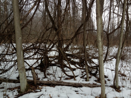 The coils of wild grape vines that overgrow and pull down forest trees.