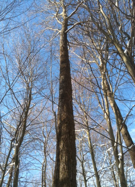 Sugar maple finding blue sky.