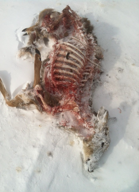 Deer carcass at Seven Fields cleaned by scavengers (scat of scavenger visible on ribs).