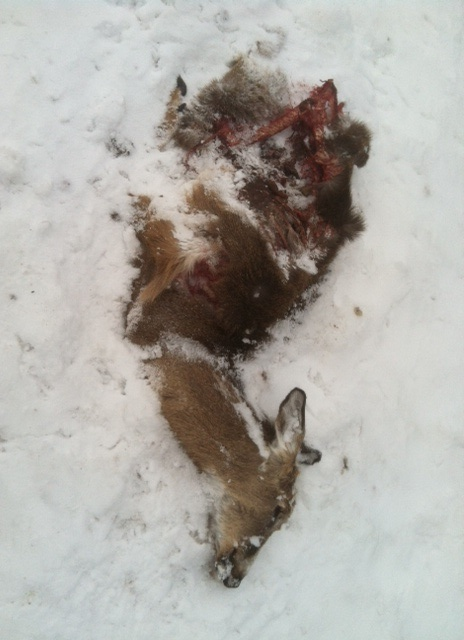 Deer carcass at Seven Fields, Enfield, Ithaca, NY.