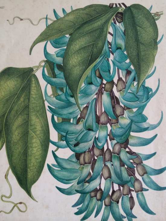 Botanical artist Margaret Stone's rendering of the jade vine.