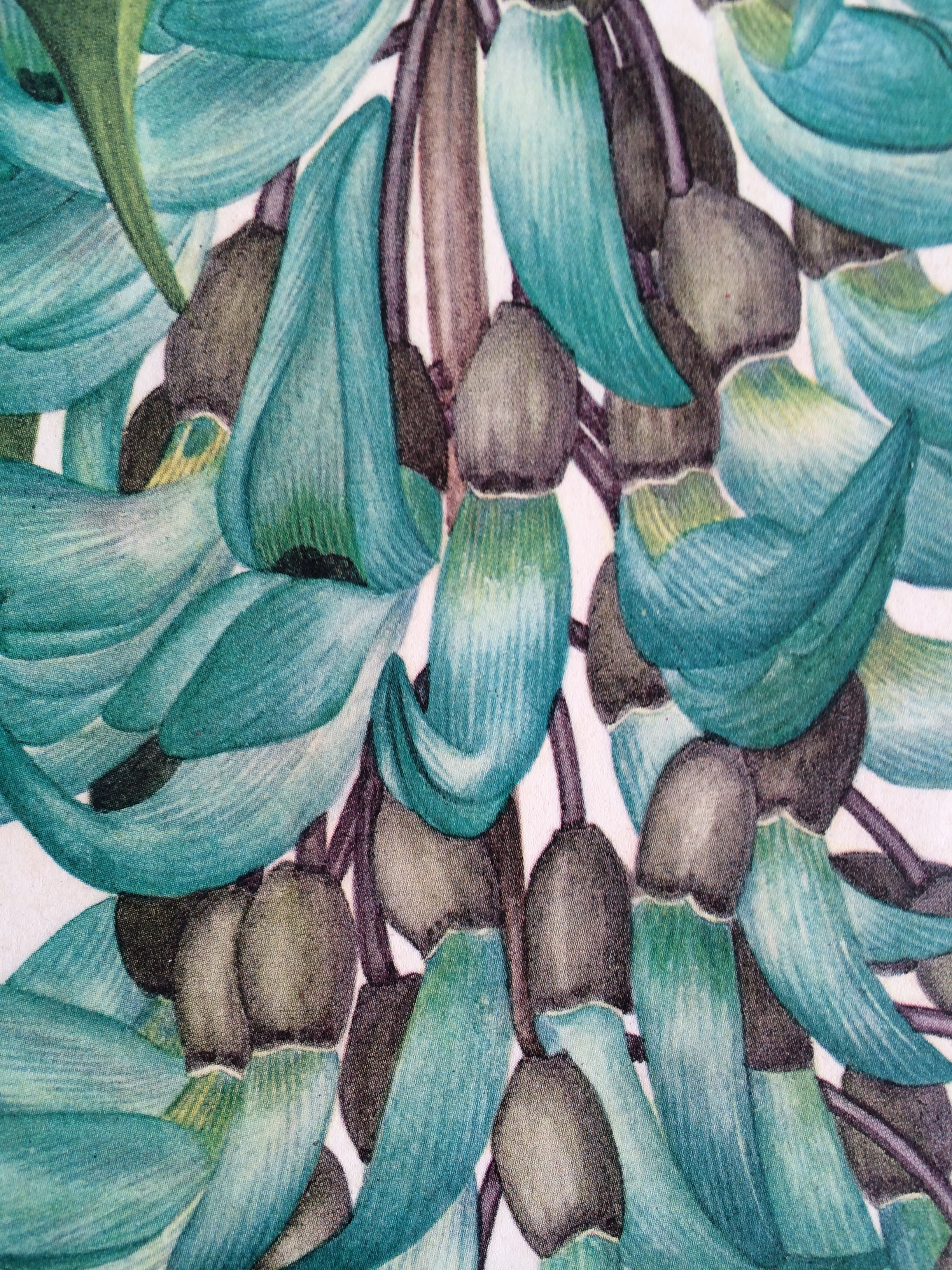 Close-up of Margaret Stones' botanical drawing of the jade vine.
