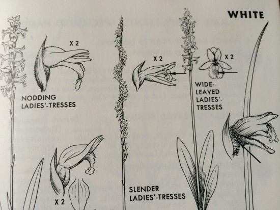 Photograph of drawings of ladies' tresses orchids (Spiranthes) from Peterson & McKenny's A Field Guide to Wildflowers.