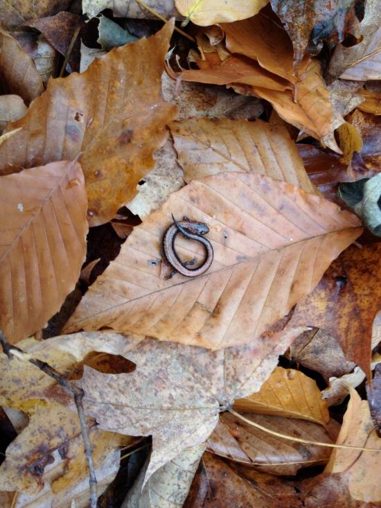Salamander on fall leaves.