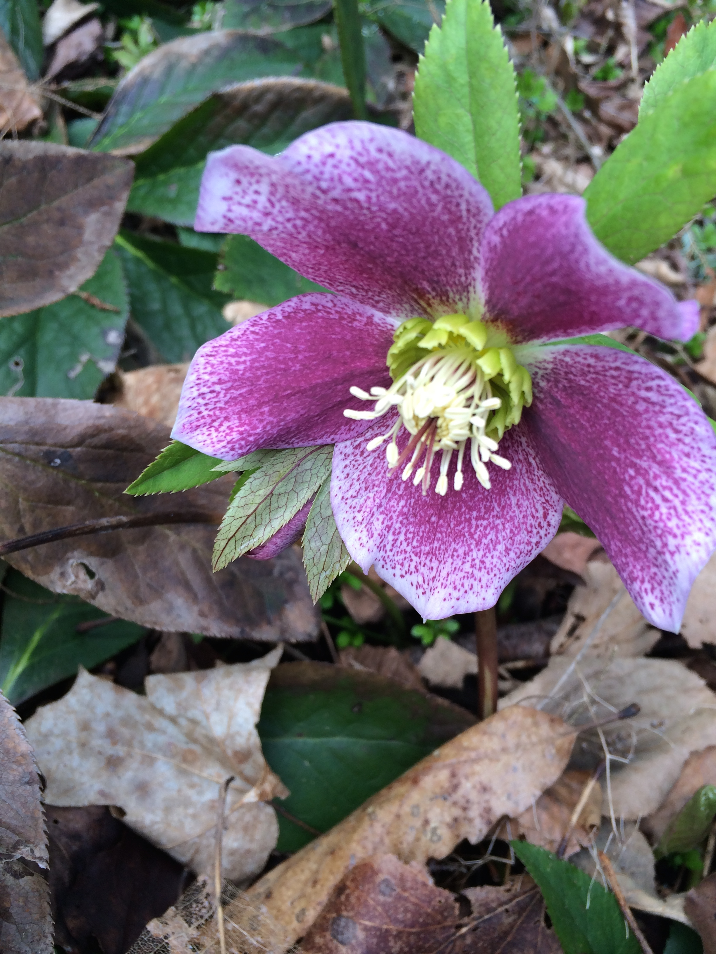 Hellebore flowers come in many shades--from pale cream to pale green to pale pink to deep maroon.