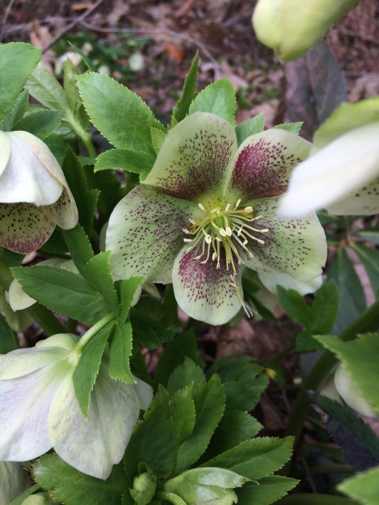 Hellebore (member of the buttercup family) at the Cornell Plantations.