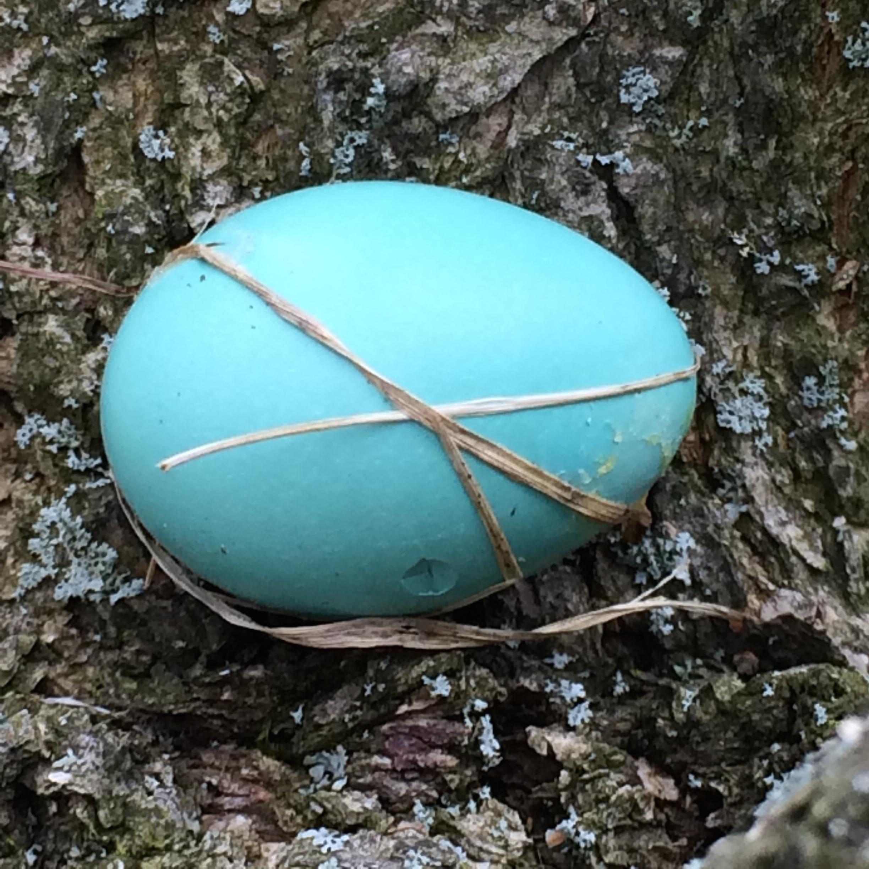 The robin's egg.