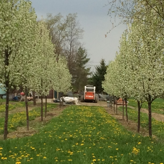 Homage to the bobcat at the end of a double row of flowering pears at Cayuga Landscape tree nursery.