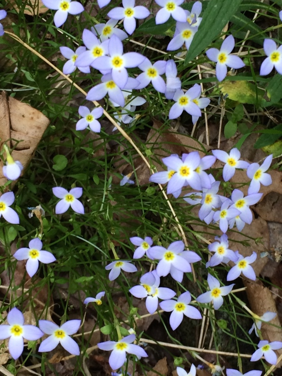 Bluets or Quaker Ladies (Houstonea caerulea).