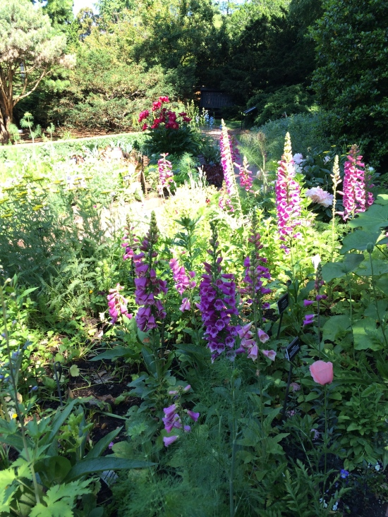 There are still lots of foxgloves in the Shakespeare Garden.