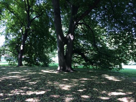 Keyhole tree near the Steinhardt Conservatory at BBG.