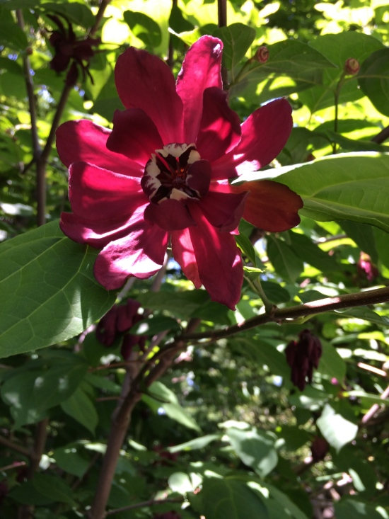 Carolina spicebush (Calycanthus sp.) near Cherry Esplanade.