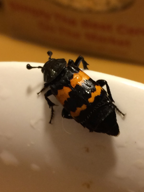 Carrion beetle on my kitchen counter.