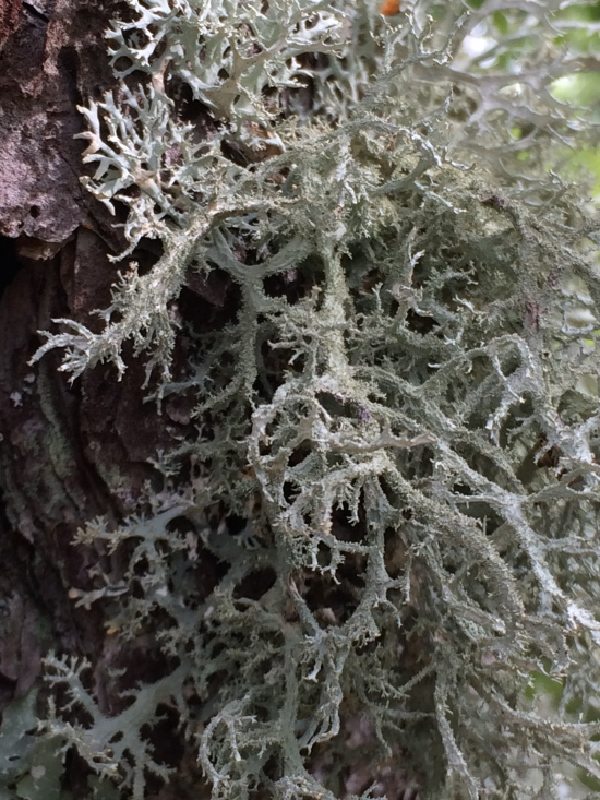 Lichen on parent tree.