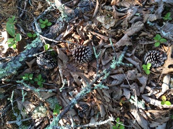 Lichens and pine cone.
