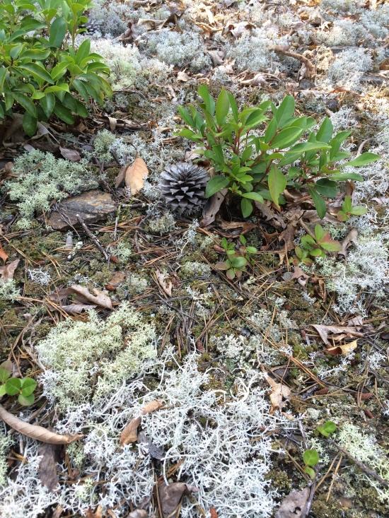 Pine cone and lichens.