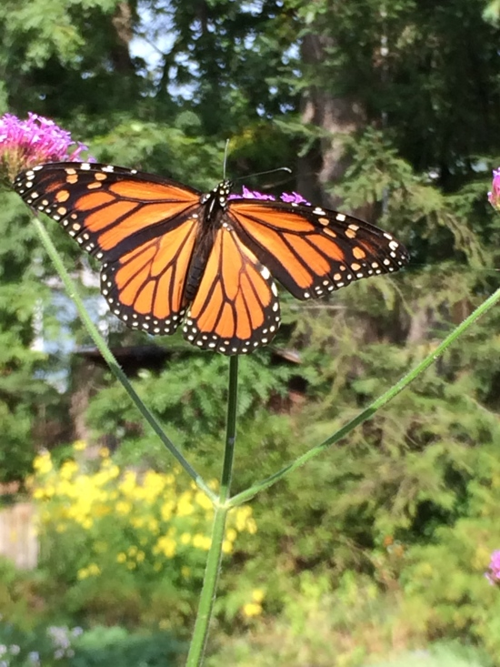 Monarch on Verbena bonariensis in my garden in Ithaca, NY.