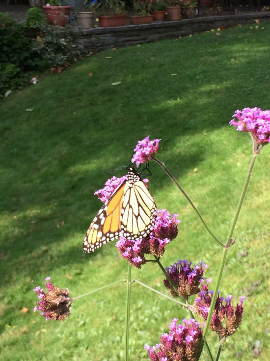 Monarch visiting Verbena bonariensis in my garden in Ithaca, NY.