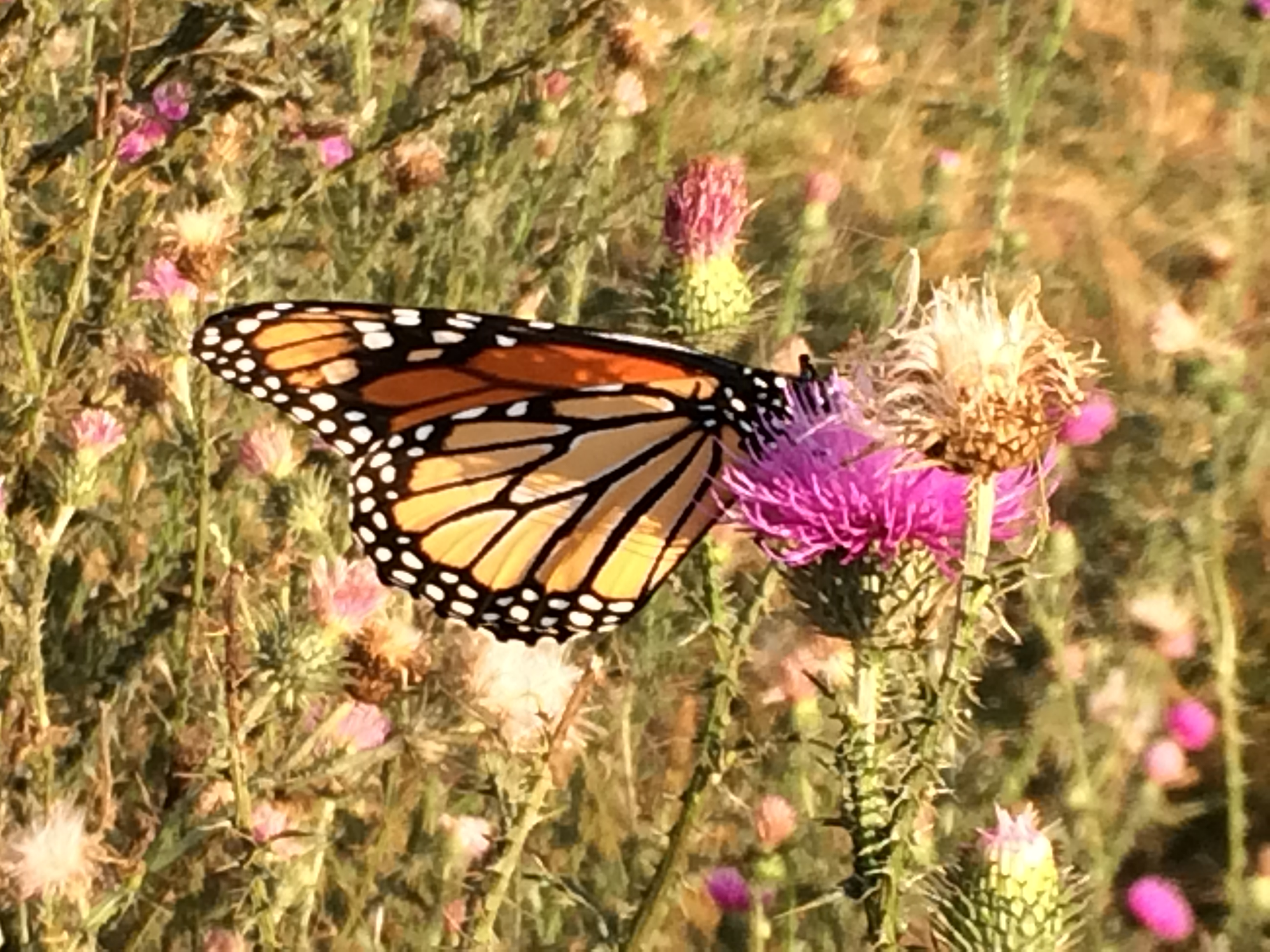 Where Have All Monarchs Gone >> Where Have All The Flowers Gone And Their Monarchs Elizabeth