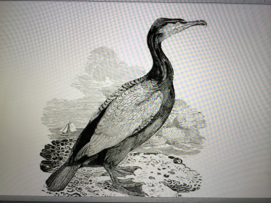 Bewick's cormorant (winter plumage; p.363, vol. 2).