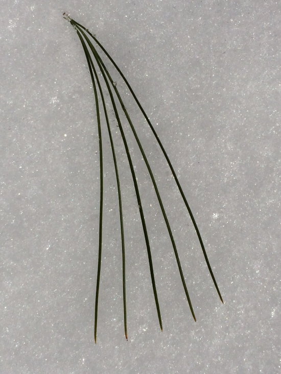 The white pine displays the characteristic 5-needle arrangement of a needle bundle (fascicle).