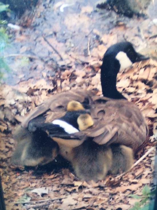 Goslings nesting in mother goose's feathers.