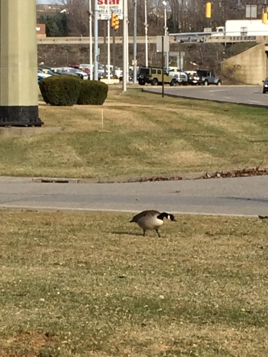Goose or gander in narrow strip of turf near busy intersection. Note bright white chin strap.