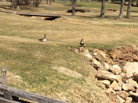 Canada geese at Silver Creek Golf Course, Hellertown, PA.