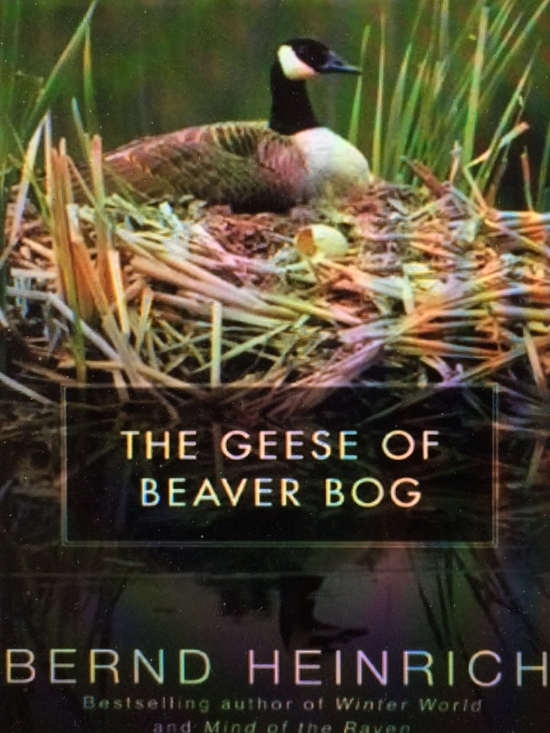 Bernd Heinrich reports on his observations of Peep and Pop, a goose and gander who nested near one the beaver ponds near his house. A dramatic account, as he is often dashing around reporting on various unusual activities.
