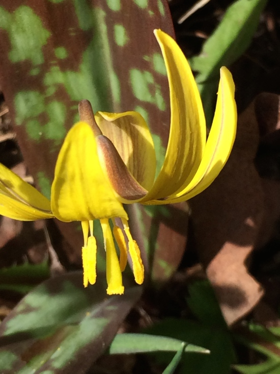 Trout Lily with yellow anthers (anthers are the pollen-bearing organs of the plant).