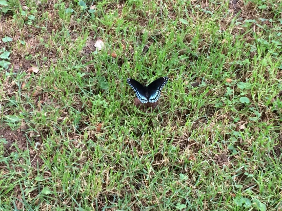 Red-spotted Purple on scat in garden lawn.