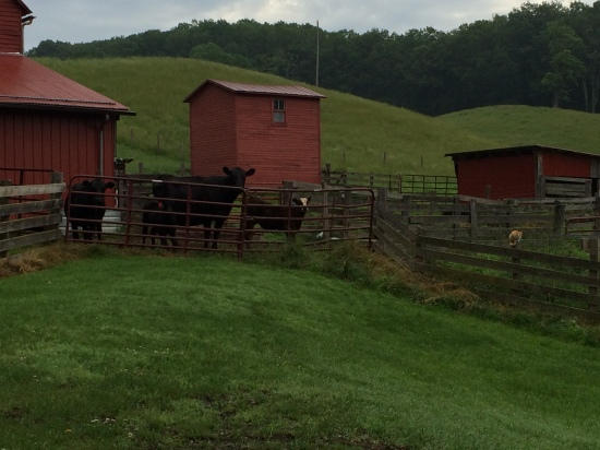 Four incarcerated cows and a cat on a fence post.