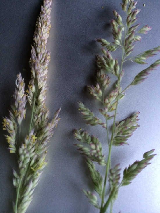 Mystery Grass. Inflorescences open as they mature, spreading out their pollen to the wind.