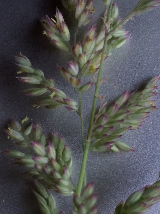 Mystery Grass, showing the purple tips of the inflorescence.