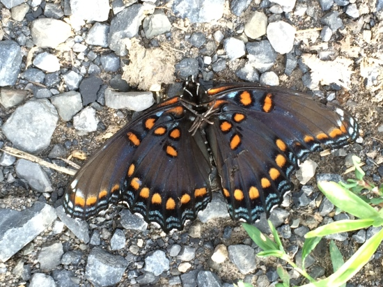 Underside of the Red-Spotted Purple found by the side of the road by the apple orchard in Vinegar Hollow.