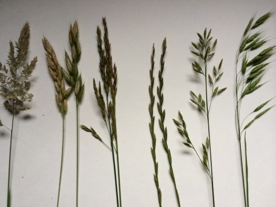 Grasses found in Vinegar Hollow, June, 2015.