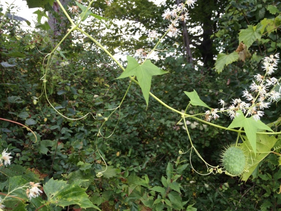 Bur cucumber: flowers, fruit, and tendrils.