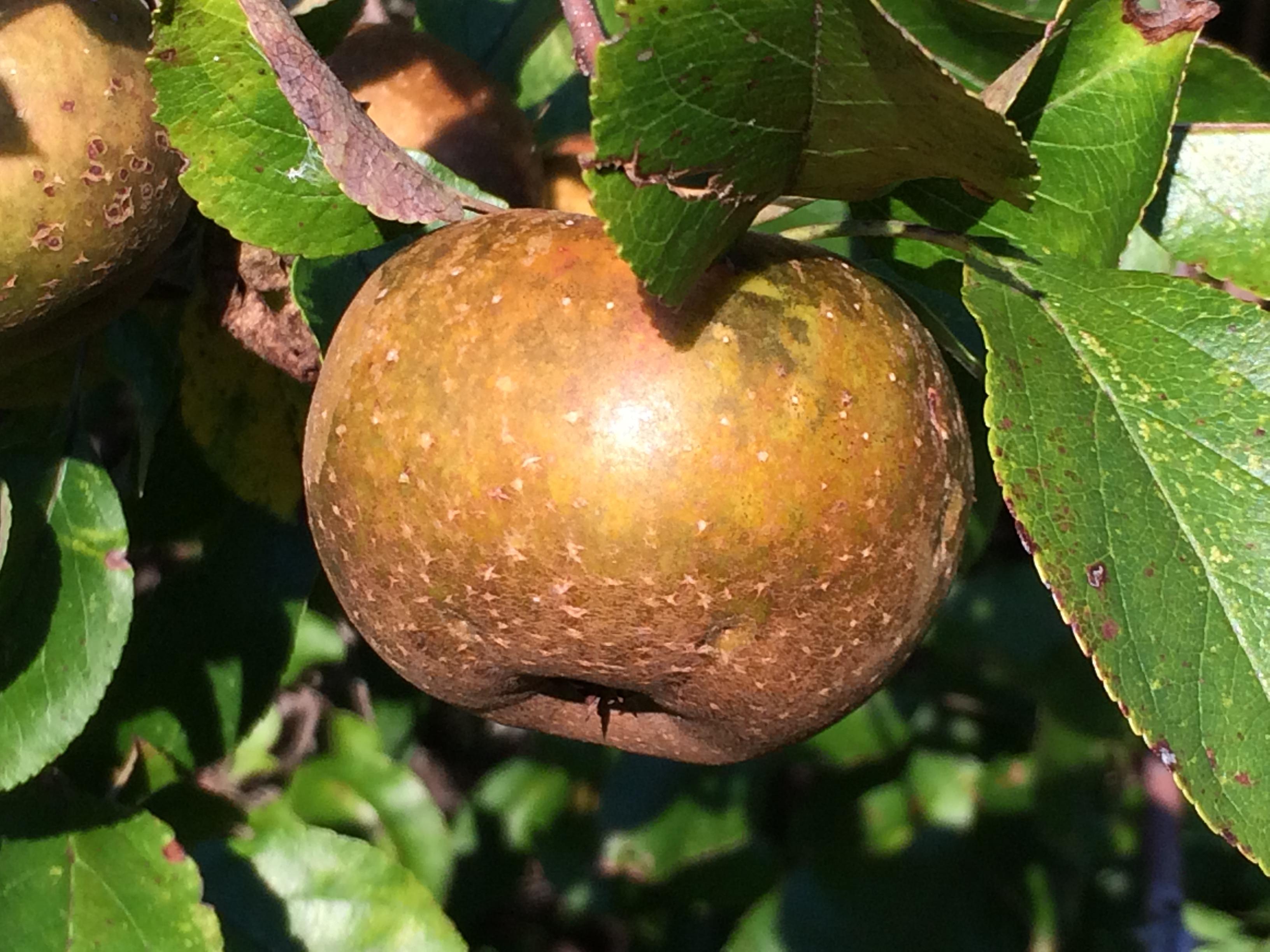 Wild apple (Enfield, Ithaca, NY).