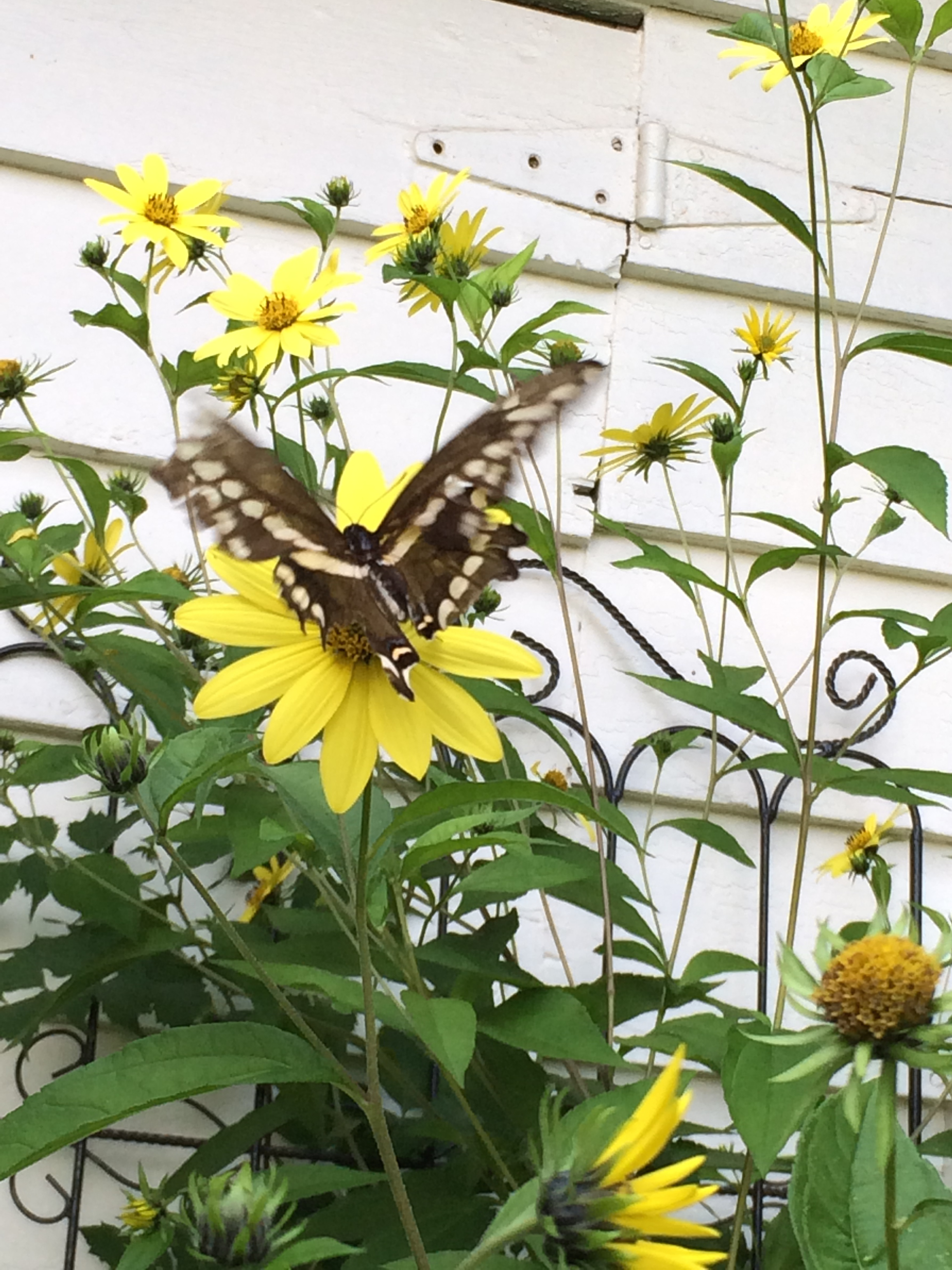 Helianthus (perennial sunflower) and butterfly.