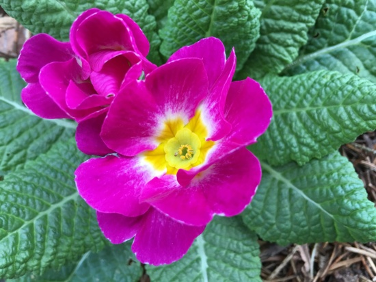 The primrose in the noon sun.