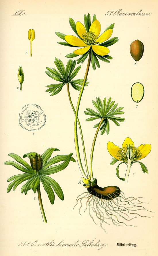 Illustration_Eranthis_hyemalis0